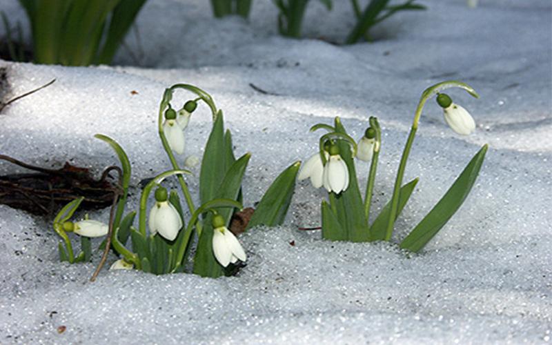 Baharın Müjdecisi Kardelenler Ve Cemreler